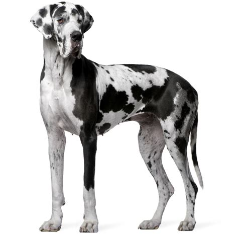 8 different great dane colors and patterns with amazing