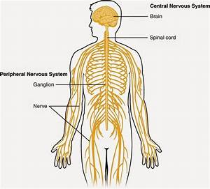 Diagrams Of The Nervous System