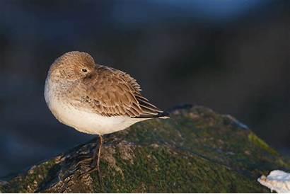 Sleeping Dunlin Bird Winter Barnegat Lots Jetty