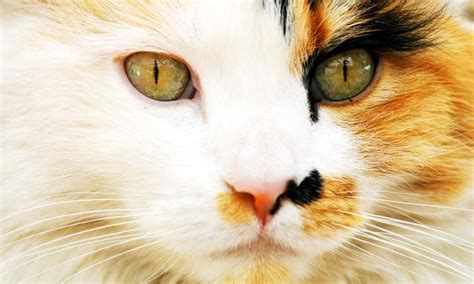 calico cat cats face female why pattern looking domestic straight distinctive colour