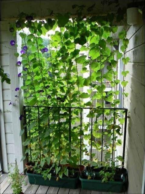 kletterpflanzen fuer balkon  super ideen archzinenet