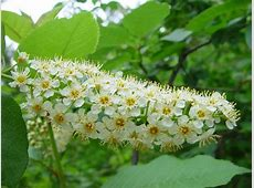 Prunus virginiana chokecherry growisernet