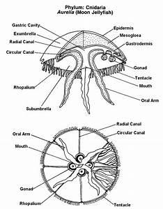 The Jellyfish Lovers Blog  Jellyfish Anatomy  Blog 6
