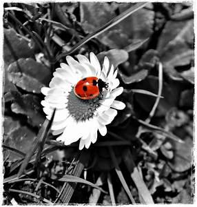 Schwarz Weiß Bilder Mit Farbe Städte : ein kleiner marienk fer foto bild colorkey bearbeitungs techniken digiart bilder auf ~ Orissabook.com Haus und Dekorationen