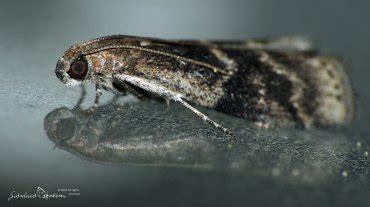 http://www.gdoremi.altervista.org/pyralidae/Euzophera_bigella.html