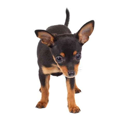 dog food  dobermans puppies   goodpuppyfood