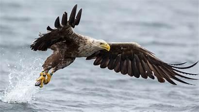 Eagle Desktop Wallpapers Bird Golden 4k Flying