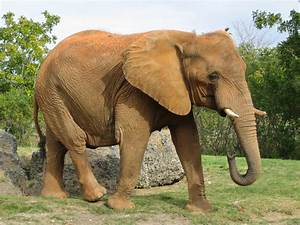 African Elephant | Some True Facts & Fresh Photos ...