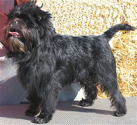 Affenpinscher Dog Toy Dog Breeds Online Dog Dogs In Depth Com