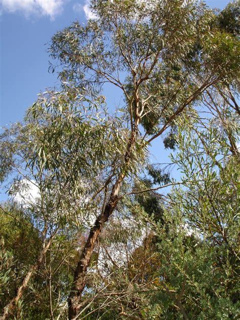 Eucalyptus Polybractea Wikipedia