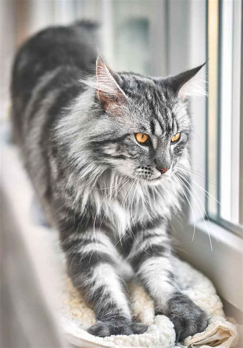 grey maine coon maine coon expert