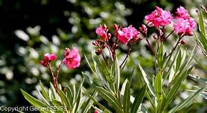 Variétés lauriers roses rustiques Plantes d'Exception