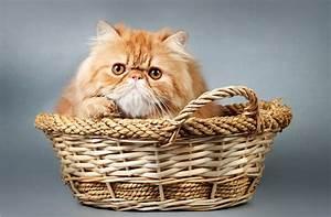 Panier Osier Chat : fonds d 39 ecran chat domestique roux panier en osier animaux t l charger photo ~ Teatrodelosmanantiales.com Idées de Décoration