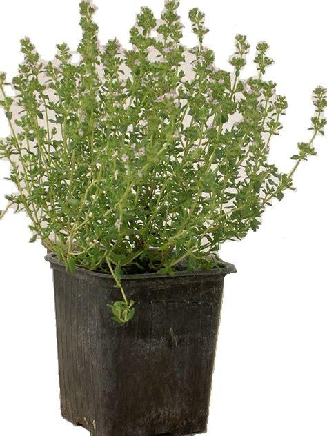 culture du thym en pot nos tarifs arom antique