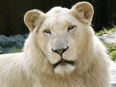 White Lions Pinterest Lion Cubs Google