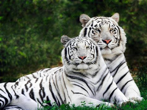 wallpapers white tiger wallpapers