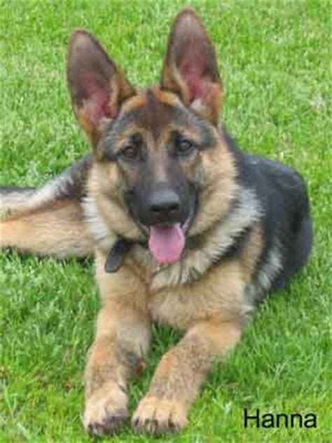 pictures   german shepherd puppies les anges