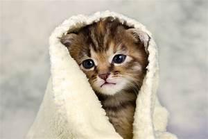 Laver Un Chaton : comment laver son chat ~ Nature-et-papiers.com Idées de Décoration