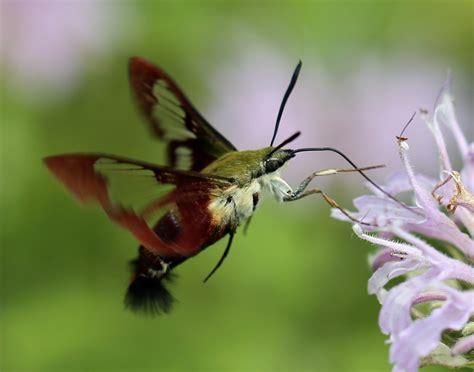 hummingbird moth hummingbird clearwing moth