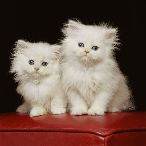 Persian Cat Breed Information, Pictures, Characteristics
