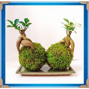 Ficus Ginseng Kaufen : bonsai ficus ginseng kaufen billigbonsai ficus ginseng partien aus china bonsai ficus ginseng ~ Sanjose-hotels-ca.com Haus und Dekorationen