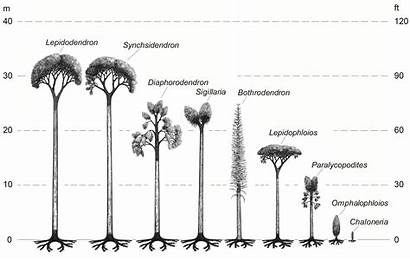Fossils Tree Types Heights Fossil Lycopod Trees