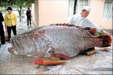 grouper caught giant largest ever fish huge goliath pacific freshwater china pound lb monster coast biggest epinephelus lanceolatus fishing record