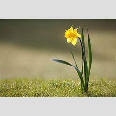 Wiosenny, Żonkil