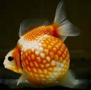 Exotic Pearlscale Goldfish