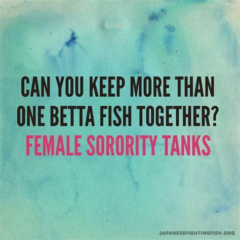 female betta fish sorority tanks keeping