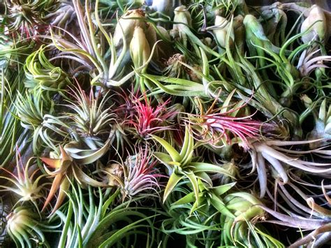 Garden Types : 40 Stunning Photos Featuring Varieties And Types Of Air Plants