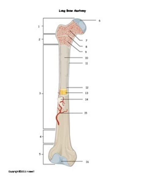 Unit 3 part 1 x section bone. Long Bone Anatomy Quiz or Worksheet by Everything Science and Beyond