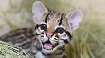 ocelot cat ocelot kitten is born at cameron park zoo in softpedia