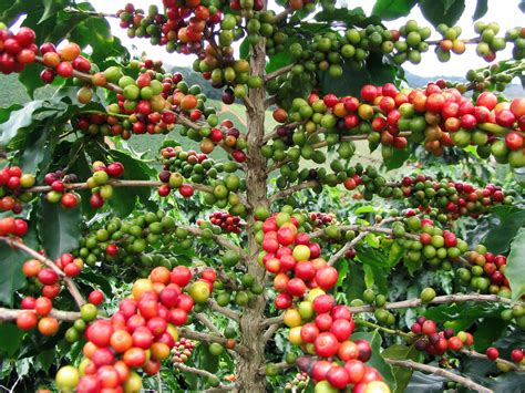 Coffee Bean Speaks The History Of Brazil. Ethiopian Coffee In Seattle Pdf Temple Bangalore Areas Davis Ca Notes Chai Exporters Association