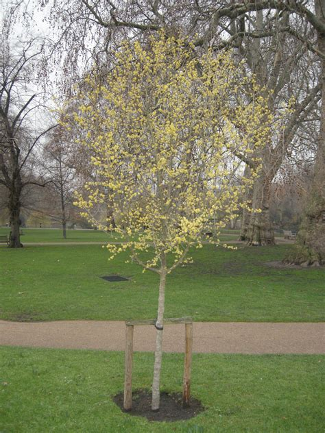 cornus mas landscape architects pages