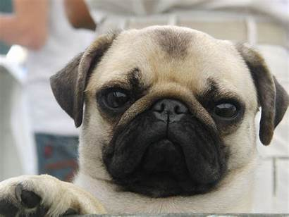 Pug Dog Wallpapers Pugs Dogs Funny Background
