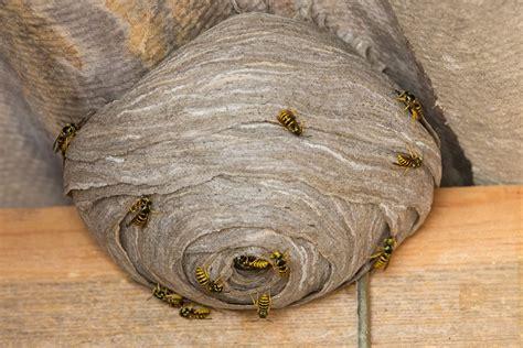 Wasp Nests - EuroEx Pest Control