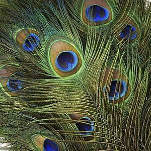 """Peacock Tail Eyes Natural - 25-35"""""""