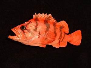 Rockfish « Bilz Rockfish
