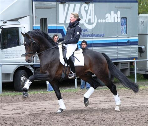 compliment stallion approximately standing born 2004 hands bay dark