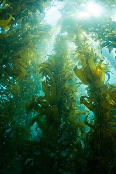 scuba diving   kelp forest  catalina   mazing