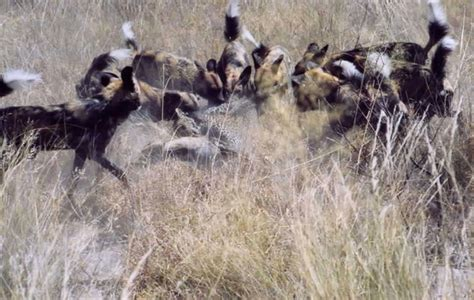 dogs leopard wild kill killing bites dead africa geographic africageographic 1jpg nearby waited guests plane late