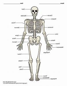 Unlabeled Diagram Of The Human Skeleton   Unlabeled