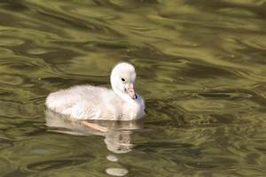 Baby Trumpeter Swan Photograph by Lynn Hopwood