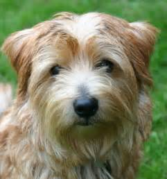 Does Border Terriers Shed by What Breed Is This Dog