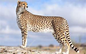 Wallpapers Of Cheetah