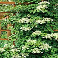 Climbing Flowersvines On Pinterest  Clematis, Climbing