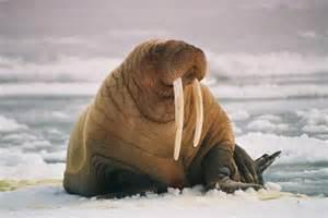 Arctic Walrus Pictures