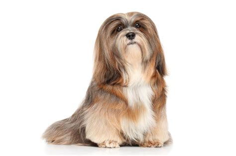 lhasa apso dogs and puppies dog breeds journal