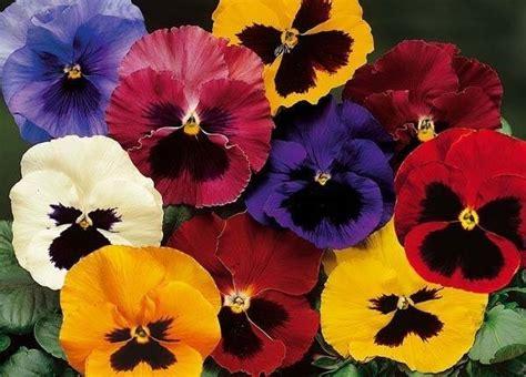 fiori viole fiore viola piante annuali caratteristiche della viola